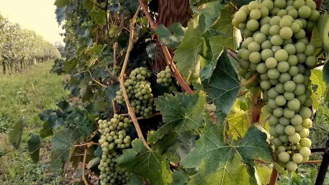 Bellafonte Trebbiano Grapes