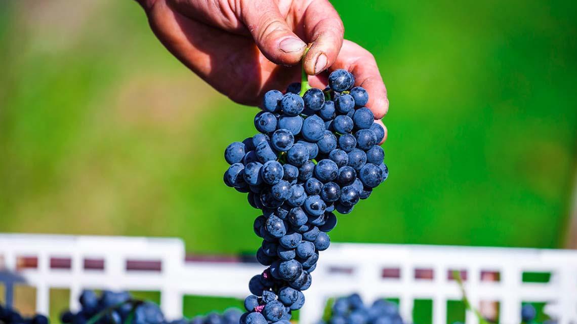 Bortoluzzi Cabernet Grapes