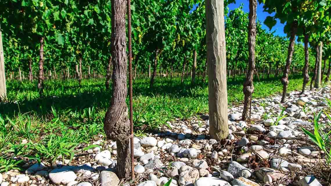 Bortoluzzi Vines