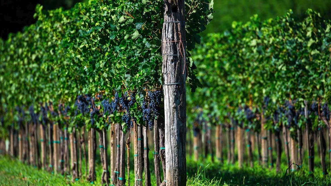 Bortoluzzi Vineyards