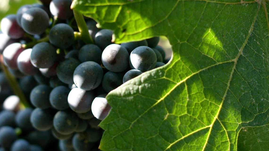 Conterno Fantino Nebbiolo grapes