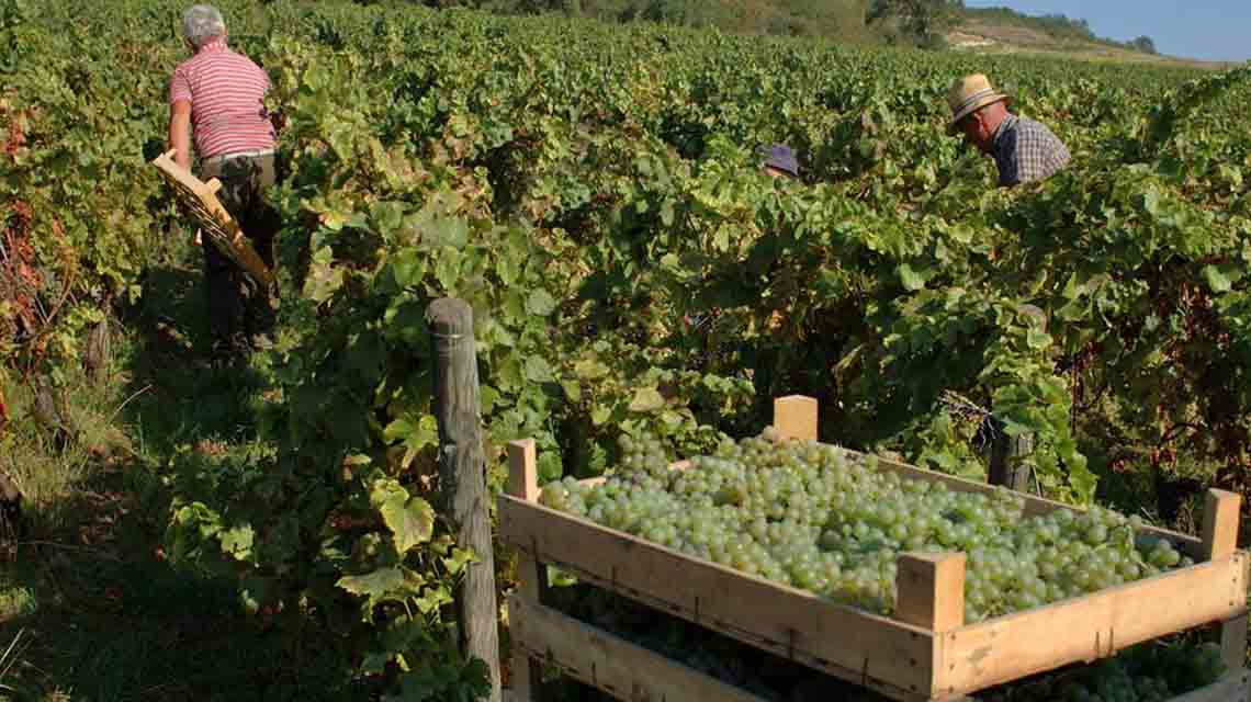 Corte Giacobbe Harvest