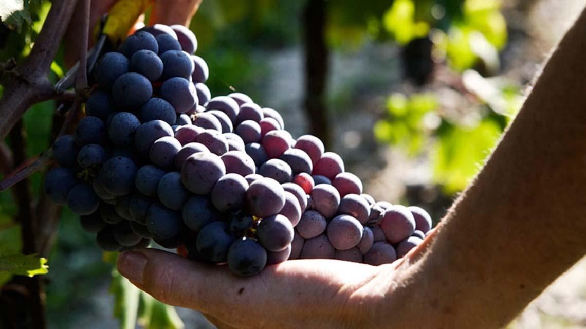 Costaripa grapes