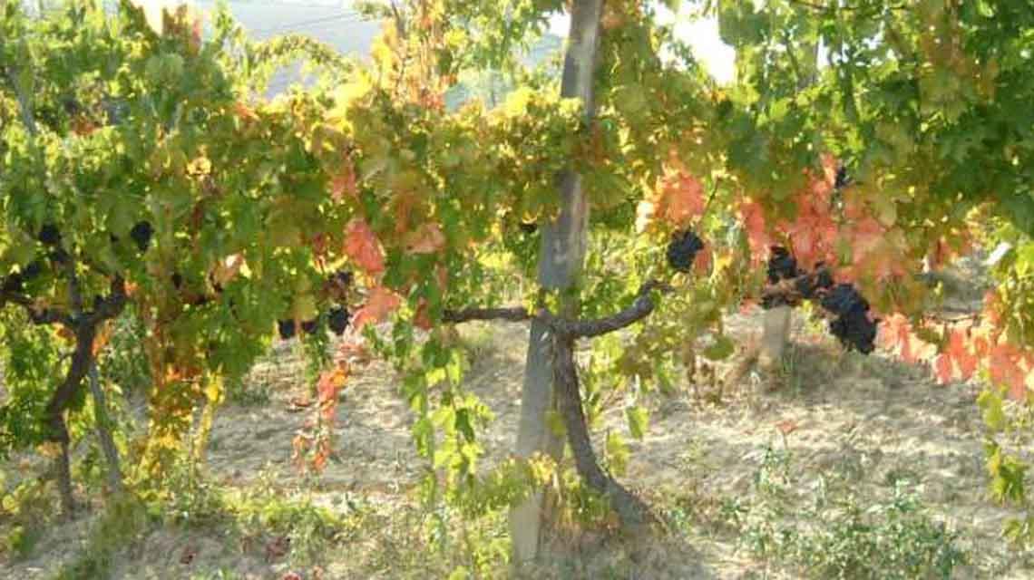 Fantini vines
