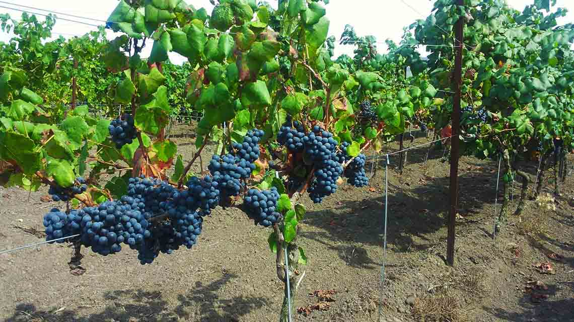 Hiera grapes