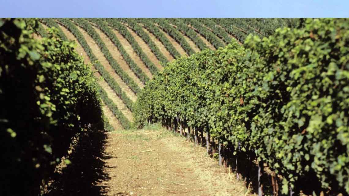 Il Feuduccio Vines