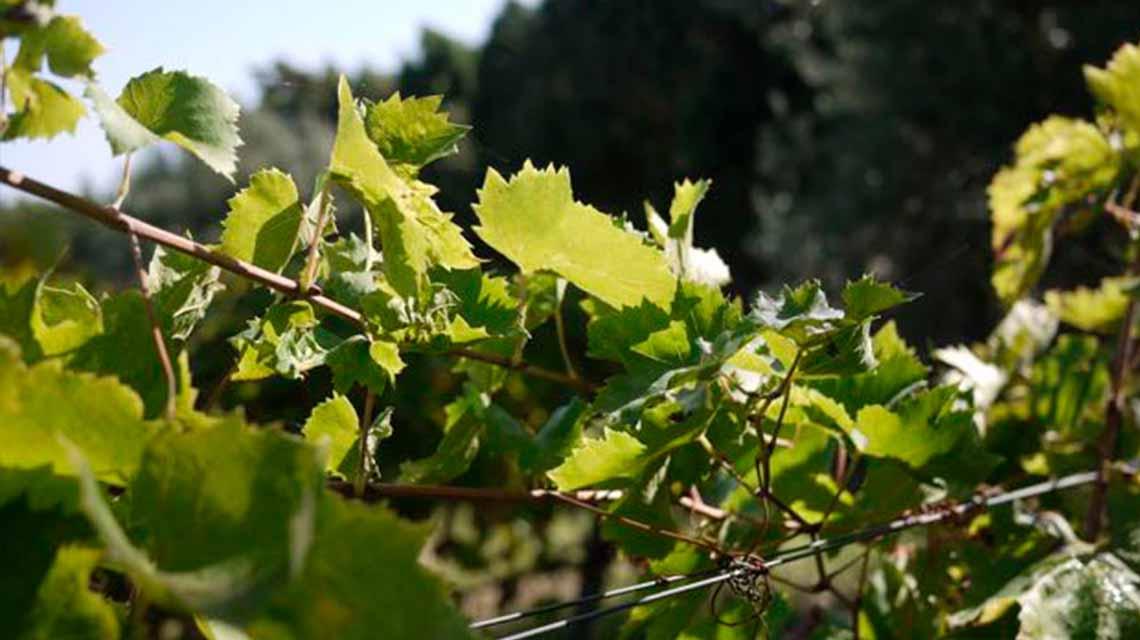 Le Casematte Vines