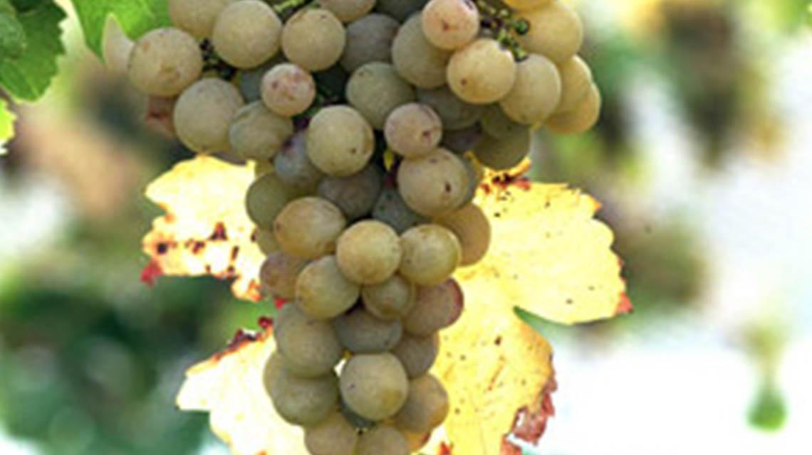 main Divide Chardonnay