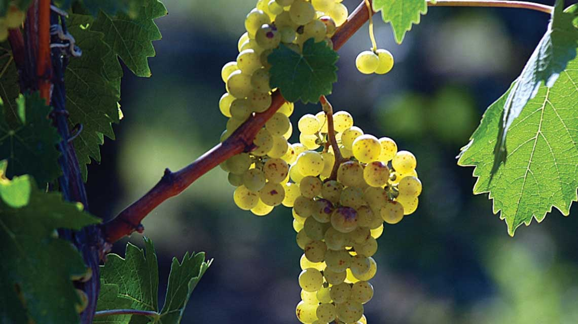 Marcarini Arneis Grapes