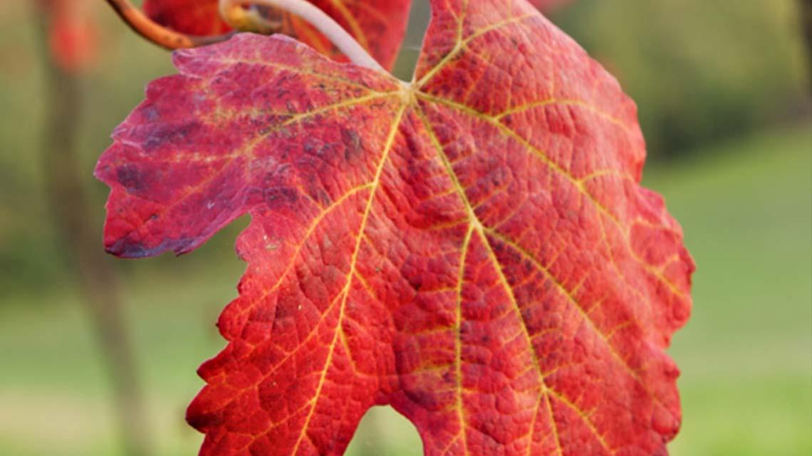 Lambrusco Vines