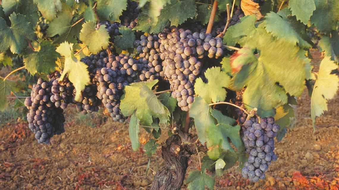 Monte Antico Sangiovese Grapes