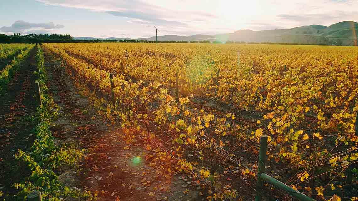 Pegasus Bay Vineyards