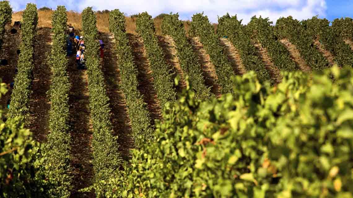 Santadi Harvest