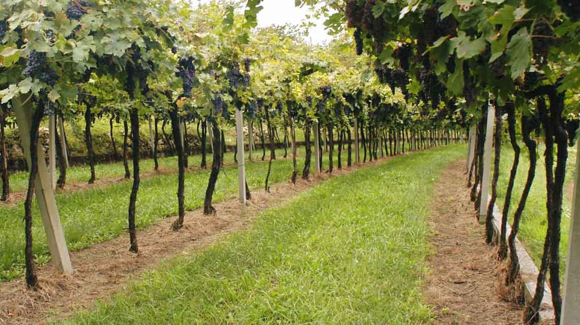 Speri Vines