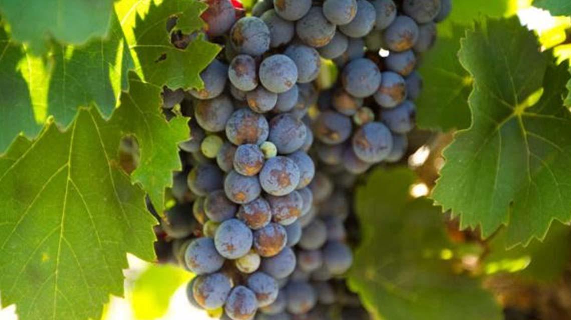 Supremus Sangiovese Grapes