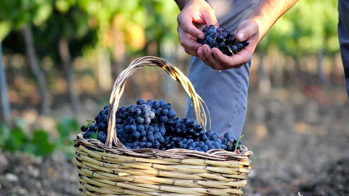 Vigneti Zabù Harvest