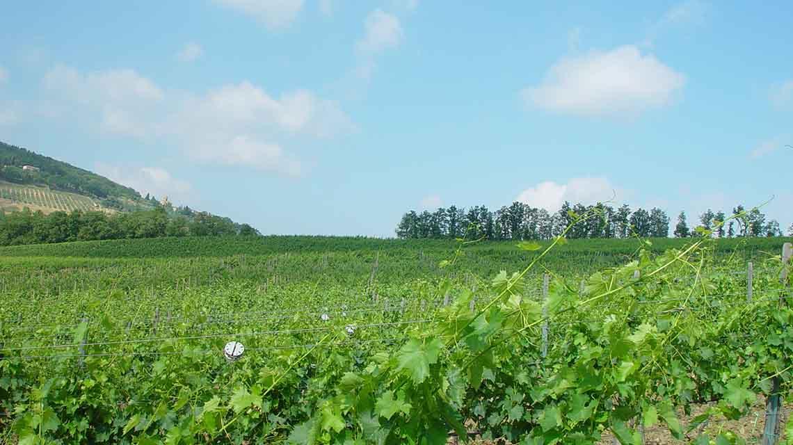 Viziato Vineyard
