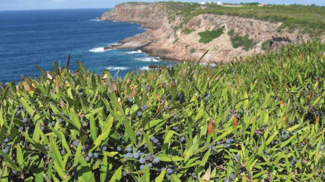 Wild Sardinia Myrtle Bushes