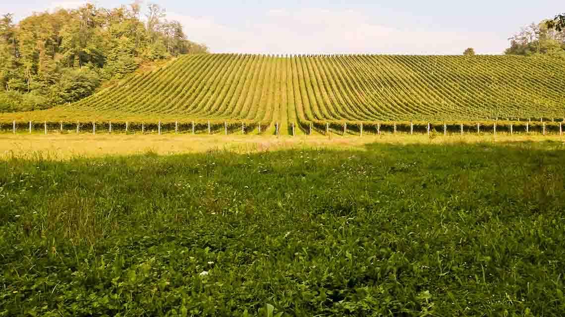 Torraccia's Ghemme Vineyard