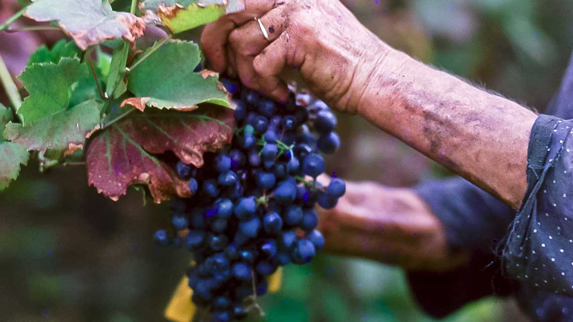 Nebbiolo Harvest